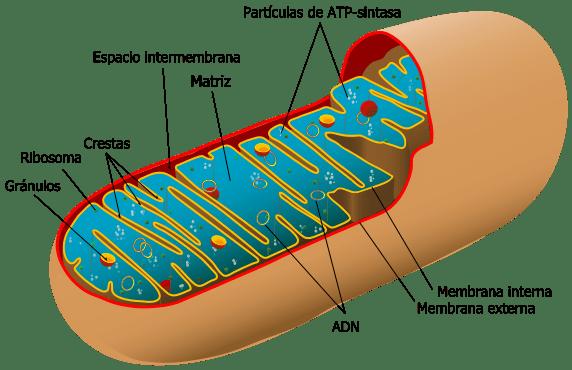 Tipos de células: Procariontes e eucariotos (com imagens) 10