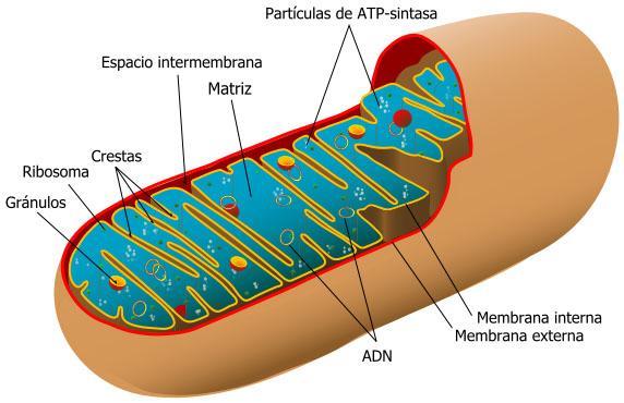 Mitocôndrias: partes, funções e doenças associadas 2