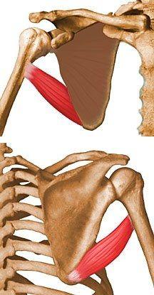 Músculo redondo principal: anatomia e considerações clínicas 1
