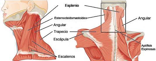 Músculos do Pescoço: Classificação e Funções 1