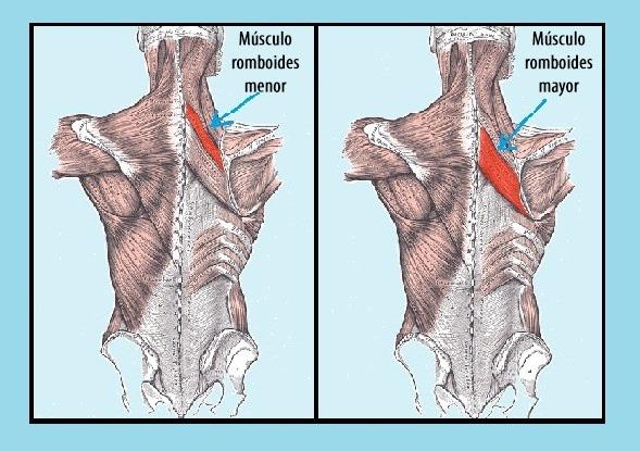 Músculos romboides menores e maiores: características, funções 1