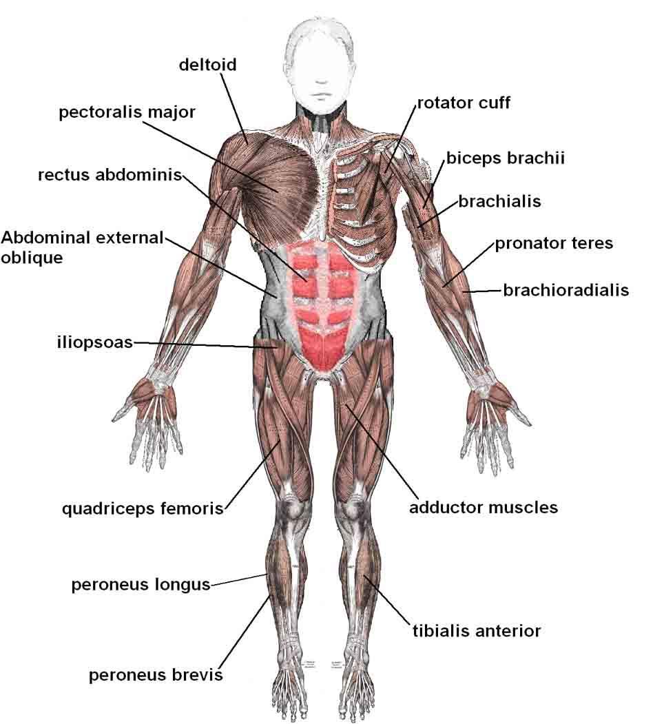 Sistema osteoartroso muscular (SOAM): divisão e funções 4
