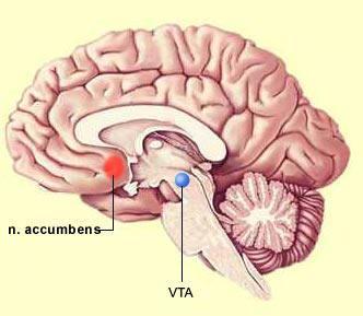 Gânglios da base: funções, anatomia e patologias 7
