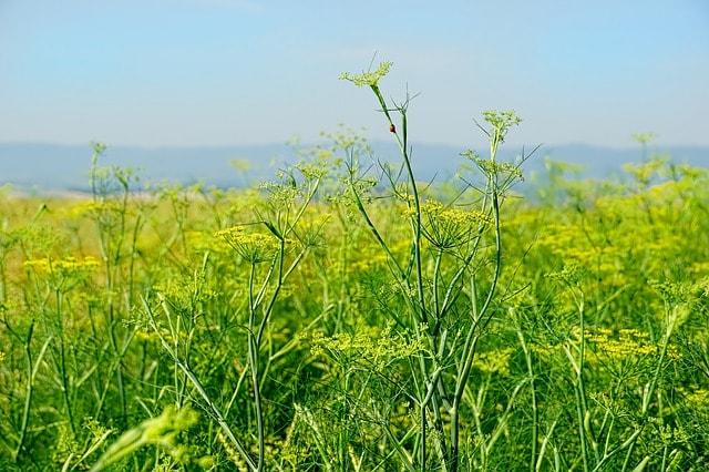 Erva-doce: características, habitat, propriedades, cultivo 1