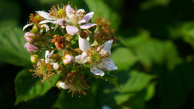 Amora-preta: características, habitat, propriedades e cultivo 2