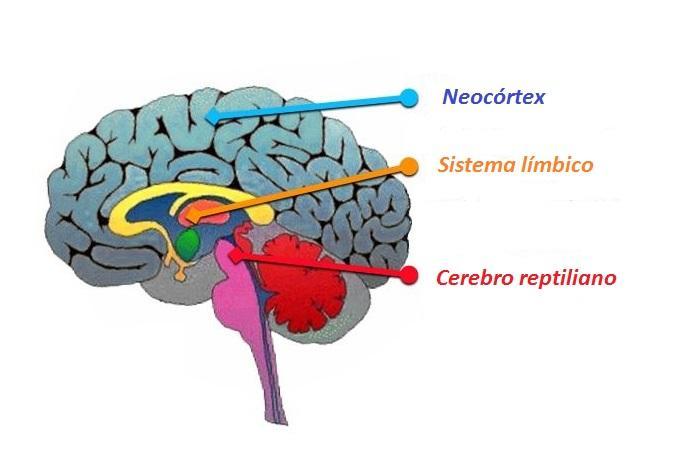 Neocórtex: função, estrutura e patologia 1