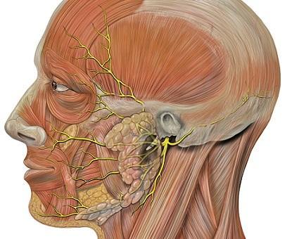 Nervos cranianos: origem real e aparente, funções, anatomia 7