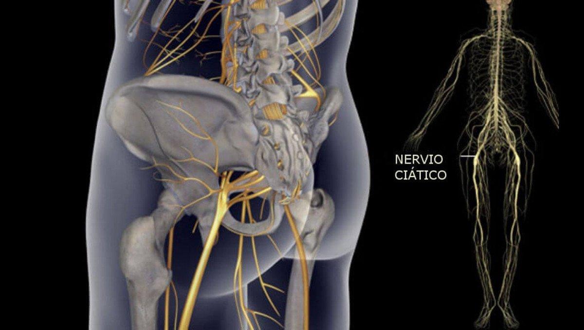 Nervo isquiático (isquiático): anatomia, funções e patologias 2