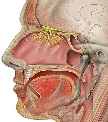 Nervos cranianos: origem real e aparente, funções, anatomia 2