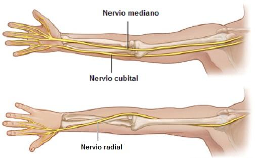 Nervo radial: anatomia e funções 3