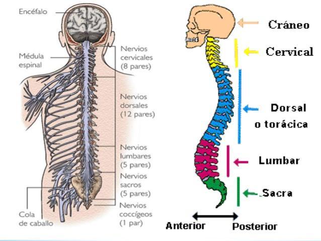 Sistema nervoso periférico: partes e funções 7