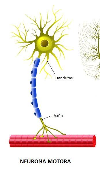 Neurônios motores: características, tipos e funções 50