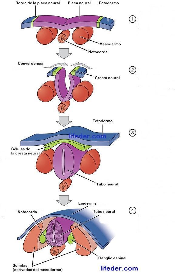 Neurulação: características, quando e como ocorre 3