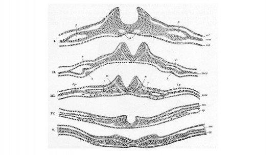 Neurulação: o processo de formação do tubo neural 1