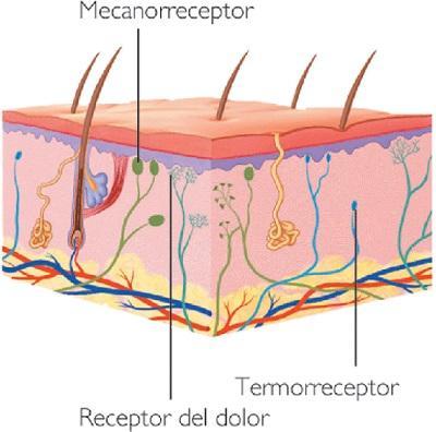 Nociceptores: receptores de dor 1
