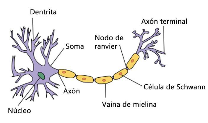Mielina: funções, treinamento, estrutura 3
