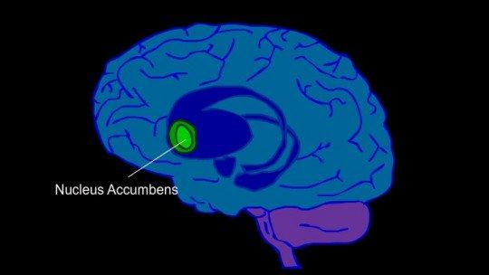 Núcleo Accumbens: anatomia e funções 1