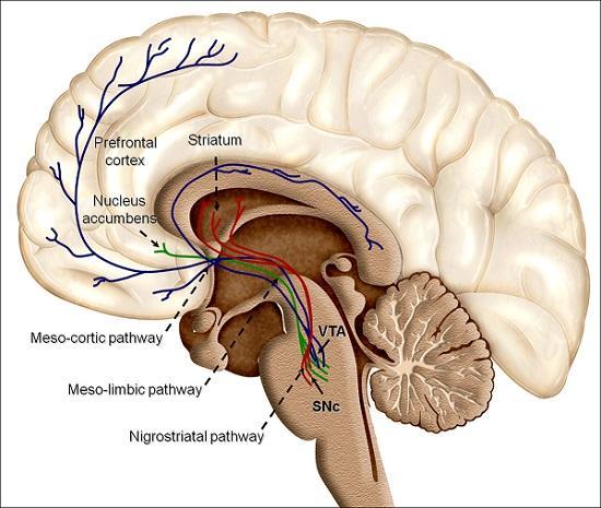 Gânglios da base: funções, anatomia e patologias 9