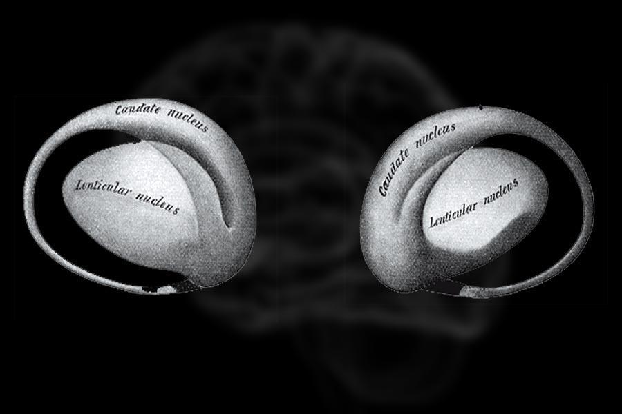 Núcleo lenticular: função, anatomia, características 1