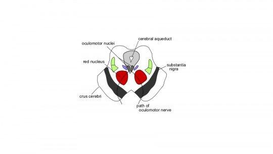 Núcleo vermelho (parte do cérebro): o que é, características e funções 1