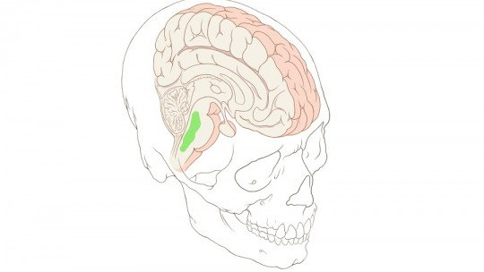 Núcleos Rafe: o que são e qual a função que exercem no cérebro 5