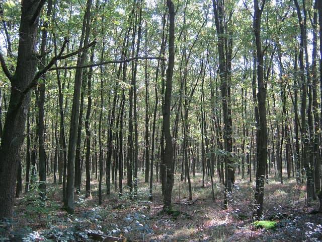 Quercus crassipes: características, habitat, usos 1