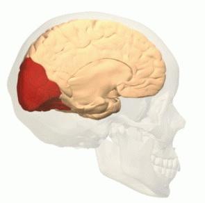 Lobo occipital: anatomia, funções e lesões 6