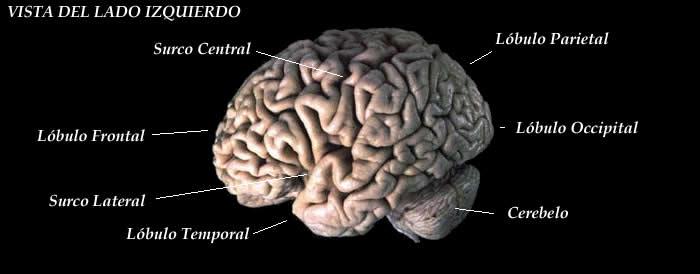 Lobo occipital: anatomia, funções e lesões 3
