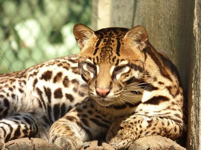Jaguatirica: características, perigo de extinção, alimentos 3