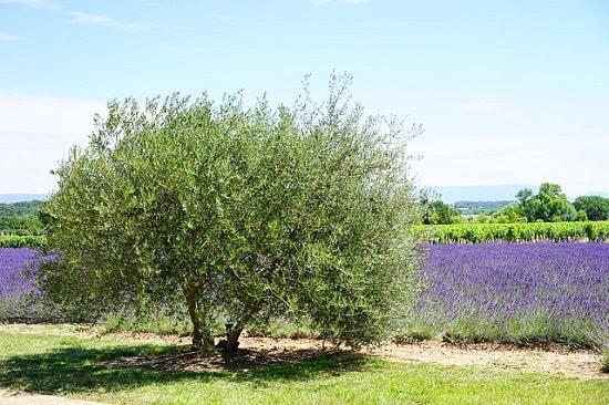 Oliveira: características, habitat, propriedades, variedades 1