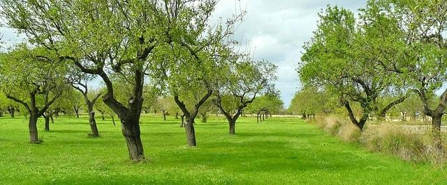 Oliveira: características, habitat, propriedades, variedades 8