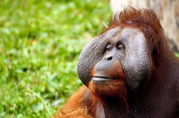 Orangotango: características, habitat, comida e comportamento 1