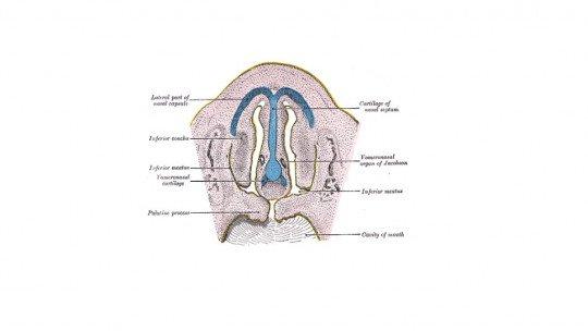 Órgão vomeronasal: o que é, localização e funções 1