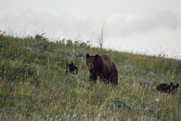 Urso preto americano: características, habitat, comida 3
