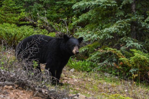 Urso preto americano: características, habitat, comida 1