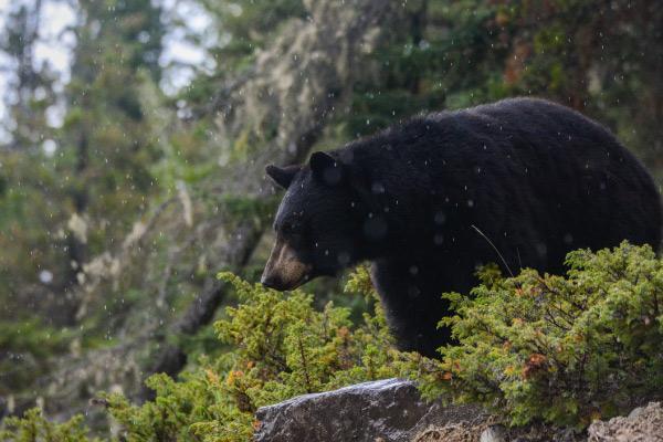 Urso preto americano: características, habitat, comida 2
