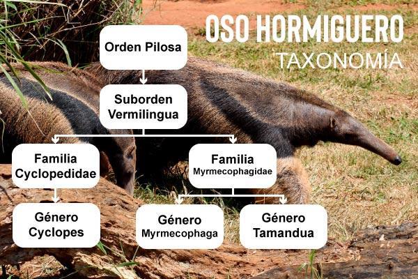 Tamanduá: características, evolução, taxonomia, habitat 2