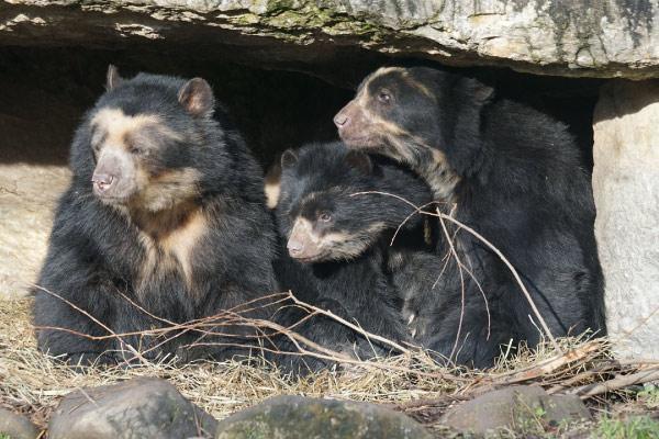 Urso de óculos: características, habitat, comida 1