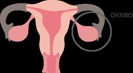 Ovários: características, hormônios, funções, doenças 2