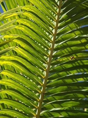 Palmeiras: características, habitat, propriedades, cultivo, espécies 2