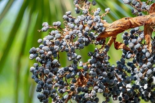 Trachycarpus fortunei: características, habitat, cultivo 4