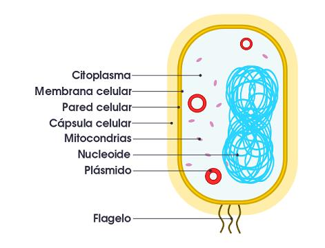Tipos de células: Procariontes e eucariotos (com imagens) 19
