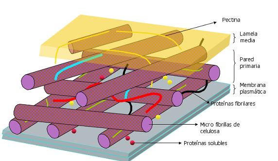 Célula animal: características, partes e funções, tipos 9