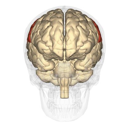 Lobo parietal: anatomia e funções (com imagens) 8
