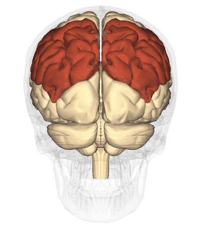 Lobo parietal: anatomia e funções (com imagens) 2