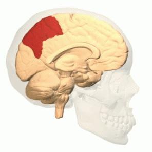Lobo parietal: anatomia e funções (com imagens) 4