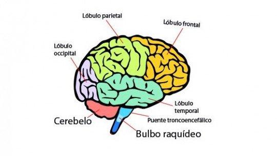 Partes do cérebro humano (e funções) 1