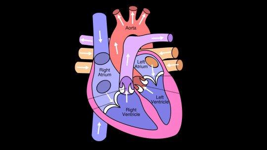 As 13 partes do coração humano (e suas funções) 1