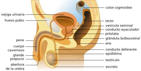 Orchiepididymitis: sintomas, causas, tratamento 1