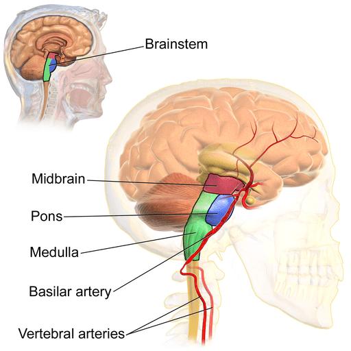 Tronco cerebral: funções, partes e anatomia 3